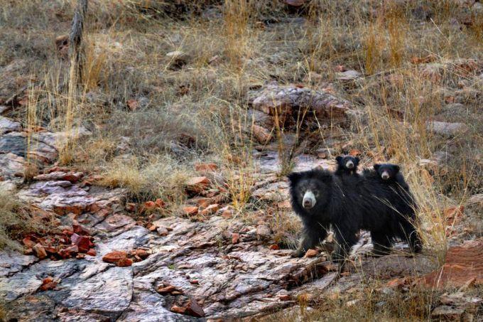 母熊带着两只熊宝宝