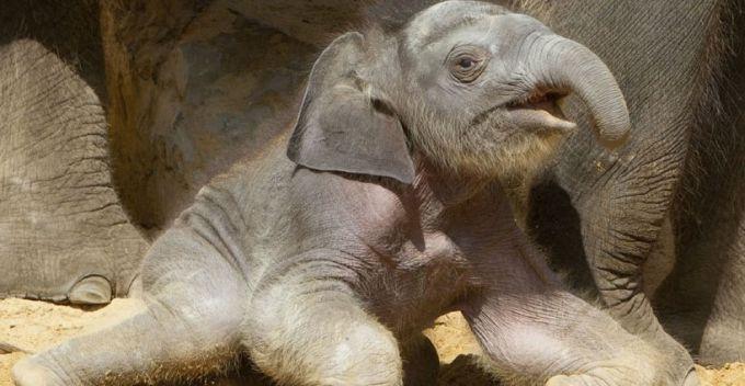 可爱的濒危动物幼仔:大猩猩幼仔